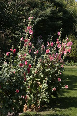 Hollyhocks a plenty (tiger289 (The d'Arcy dog supporters club)) Tags: highdown garden highdowngardens westsussex trees cherrytrees plants shrubs flowers hardwood judastree deciduous pond fish carp fruittree blossom spring lawns saplings bark redbark manorhouse highdownmanor restaurant allotment ww1 digforvictory foodproductionathome grass lawn flowerbeds ponds wildlife outdoor floralwalk avenueoftrees beechtrees redwoods insects birds squirrels bees pollen iteailicifolia hollyleavedsweetspire iteaceae tree plant foliage flower leaf perfume petals branch nature naturalworld chalkpit acidbeds hollyhocks