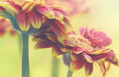 A Gentle Caress (charhedman) Tags: gerberdaisies touching petals flowers macro bokeh light
