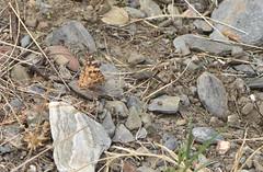 Vanessa cardui 04 01 (liesvanrompaey) Tags: taxonomy:kingdom=animalia animalia taxonomy:phylum=arthropoda arthropoda taxonomy:subphylum=hexapoda hexapoda taxonomy:class=insecta insecta taxonomy:subclass=pterygota pterygota taxonomy:order=lepidoptera lepidoptera taxonomy:superfamily=papilionoidea papilionoidea taxonomy:family=nymphalidae nymphalidae taxonomy:subfamily=nymphalinae nymphalinae taxonomy:tribe=nymphalini nymphalini taxonomy:genus=vanessa vanessa taxonomy:species=cardui taxonomy:binomial=vanessacardui tidselsommmerfugl beladama vanessadelcardo    vanesseduchardon vanesadeloscardos distelfalter vanessacardui paintedlady vanesapintada ohdakeperhonen migradoradelscards  taxonomy:common=tidselsommmerfugl taxonomy:common=beladama taxonomy:common=vanessadelcardo taxonomy:common= taxonomy:common= taxonomy:common= taxonomy:common=vanesseduchardon taxonomy:common=vanesadeloscardos taxonomy:common=distelfalter taxonomy:common=paintedlady taxonomy:common=vanesapintada taxonomy:common=ohdakeperhonen taxonomy:common=migradoradelscards taxonomy:common= inaturalist:observation=4418108