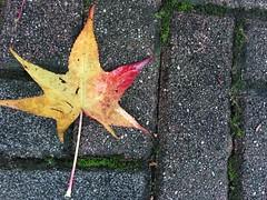 autumn leaf on the ground (Hayashina) Tags: leaf autumn ground geometry desio italy
