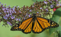 Butterfly on flower (3). *** (Explore) (hajavitolak) Tags: a7 csc captureone evil fullframe fx ilce7m2 milc mirrorless sinespejo sony sonya7ii sonya7m2 emount tamron tamron9028 macro butterfly mariposa butterflyonflower nature naturaleza naranja oranje green verde bokeh color beautiful bonita
