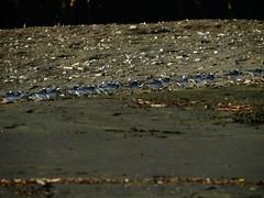 El Ostional, Guanacaste, Costa Rica. (Dole Posleman) Tags: pajaros huevos tortuga playa ostional familia bandada