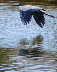 Rippled Reflection (brev99) Tags: tamron70300vc d7100 nikviveza usm saturatedslidefilmeffect greatblueheron bird bif birdinflight ngc highqualityanimals crescentpark nature