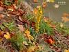 Schwarze Königskerze (Verbascum nigrum) (warata) Tags: 2016deutschlandgermanysüddeutschlandsoutherngermanyschwabenswabiaoberschwabenupperswabiaschwäbischesoberlandbadenwürttembergillerderflussriverlandschaftlandscapeflusslandschaftpflanzeschwarzekönigskerzeverbascumnigrum blüte blume pflanze wildblume wildkraut staude