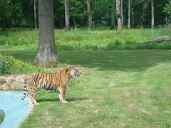 A_Male_Siberian_Tiger_at_Longleat_Safari_Park (Abbey_L) Tags: amurtiger animal cat longleat longleatsafaripark mammal tiger tjpio wiltshire zoo