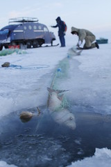 Harvest (Camusi) Tags: northwestterritories northof60 nord north nwt territoiresdunordouest tno icefishing pechesurlaglace peche fishing fish poisson blue bleu greatslavelake grandlacdesesclaves yellowknife bombardier autoneige snow neige ice glace lacgel frozenlake