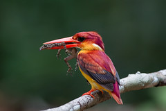 Rufous-Backed Kingfisher (MEphotog) Tags: rufous backed oriental dwarf kingfisher malaysia bird sanctuary panti