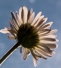 Here comes the sun.... (Liz McMahon) Tags: daisy macromondays backlit sunshine nearlysummer nikond750 nikon105mmmicro outdoor 52in2016 16 joy