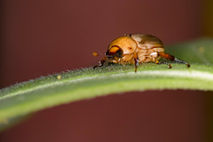 Beetles (Zahid - At Sea - Thanks for the favs and comments) Tags: animal insect cute lovely bright little details yellow red orange outdoor sylhet macromonday macromondays macro beatlesbeetles depthoffield colors night light