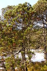 Pin à crochets (héloïsenaturaliste) Tags: nature paysage landscape tourbière luitel pinède pinusuncinata pinusmugosspuncinata pinàcrochet plante plant wildlife pinàcrochets pin conifère