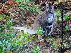 Wallabe with baby - Tasmania - Australia (pacoalfonso) Tags: pacoalfonsocom travel australia tasmania wildlife wallabe baby wineglass bay