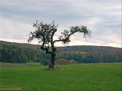 Alleine - alone (Jorbasa) Tags: jorbasa hessen wetterau germany deutschland geotag baum tree landschaft landscape wiese meadow herbst autumn einsamkeit alone allein