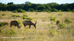 DSC02415.jpg (ChrMous) Tags: tamronsp150600mmf563 hartenbeest southafrica zoogdieren zuidafrika sonyslta99 animals 2016 alcelaphusbuselaphus redhartebeest