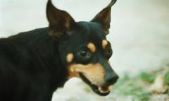 Goodbye my very dear old friend. // Adiós mi queridísimo viejo amigo. (Gabriel Plcs) Tags: analog filmisnotdead pet dog mascota perro memories love melancholy past