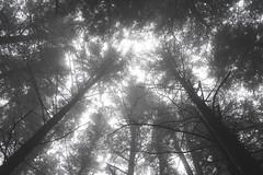 Gaze (zh3nya) Tags: lookingup trees forest moody mysterious eerie spooky hiking orcasisland sanjuanislands woods washington wa washingtonstate washingtonstateparks wastateparks pnw pacificnorthwest mystic gloomy atmospheric nature surreal monochrome fog foggy haze cloudy misty mist northwest outdoors d750 sigma35mmf14