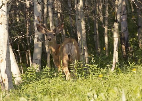 Mule Deer 4