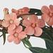 Pink Euphorbia