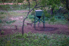 Pace Ranch Nolan County (mharbour11) Tags: pace ranch texas exotics deer wildlife morning country feeder