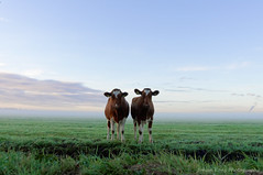Sister act (Johan Konz) Tags: curious cows village purmerland waterland netherlands outdoor green field grassfield animal grassland landscape cloudy cow farmanimal empty emptyspace sunrise