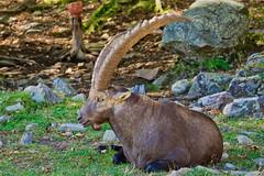 Large Alpine Ibix @ Le Parc Omega (Jeannot7) Tags: parcomega montebello québec ibix furryfriday animal