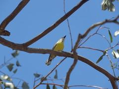Gerygone albogularis 3 (barryaceae) Tags: barraba nsw australia ausbird ausbirds gerygone olivacea whitethroated plumthornetravellingstockreserve