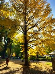 秋の日 (hamapenguin) Tags: nature autumn fall gingko ginkgo tokyo ueno 上野 銀杏 イチョウ apple iphone autumncolor