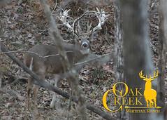 Photo Tour 11-17-16 (oakcreekhunt) Tags: whitetail sci whitetaildeer wwwoakcreekwhitetailranchcom worldrecordwhitetail weishuhn whatgetsyououtdoors warren mrwhitetail keithwarren sportear scenery deer dsc deerhunting outdoor recordbookdeer hunt harvested hunting huntersspecialties thehighroad