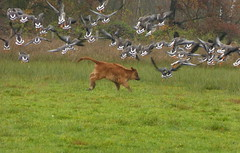 Yee haw :) (joeke pieters) Tags: 1310217 panasonicdmcfz150 gans ganzen goose geese heckrund heckrind heckcattle kalf calf landschap landscape landschaft paysage herfst herbst autumn fall automne