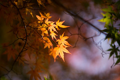 (qrsk) Tags: autumn plant plants leaves red yellow light maple       november