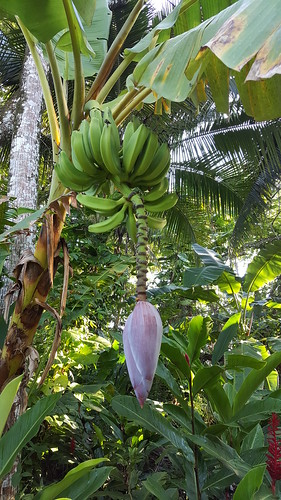 Bananas in the Hotel Grounds