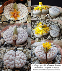 Lithops gracilidelineata (collage) (Succulents Love by Pasquale Ruocco (Stabiae)) Tags: lithopsgracilidelineata collage aizoaceae mesembs mesembryanthema mesembryanthemum mesembryanthemaceae mimetismo mimicry stabiae succulentslove succulents succulente sassifioriti succulent succulentas succulenta pasqualeruocco piantegrasse piantagrassa plantesgrasses namibia cactusco forumcactusco