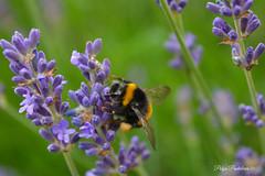 Hard work (Polya Photography) Tags: bee work animal flowers lavender colors ngc