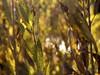 (photo ephemera) Tags: centraloregon ya101926 willow salix