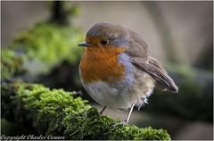 Robin (Charles Connor) Tags: billinge england unitedkingdom gb robins tinybirds gardensbirds wildbirds birdphotography uknature nature naturephotography carrmilldam canon100400lens canon7dmk11 soe