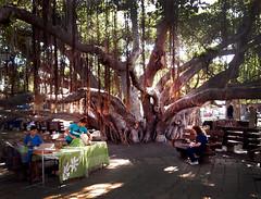 Under the Spreading Banyon Tree ... (JFGryphon) Tags: lahaina maui hawaii banyontree