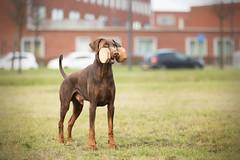 607A5922-bewerkt (Bianca Schouten) Tags: doberman dobermann dogs dog
