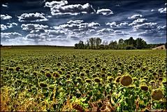 Como un mar de girasoles. (Jose Roldan Garcia) Tags: campo paisaje colores cielo nubes natural aire luz libre libertad