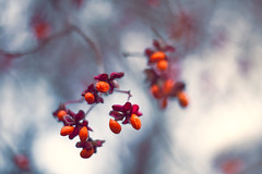 Spindle (Ans van de Sluis) Tags: spindle spindletree bokeh bokehlicious flower autumn fall flora floral hortus botanic botanical