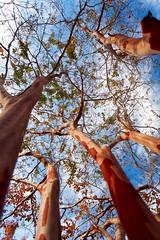 Late Fall Auburn, AL (hz536n/George Thomas) Tags: 2016 canon5d ef1740mmf4lusm sky trees nik auburn alabama fall sycamore