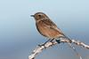 Stonechat ♀ (Shane Jones) Tags: stonechat bird wildlife nature nikon d500 200400vr tc14eii