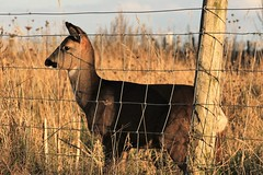 Deer at Barton Upon Humber (markalfa83) Tags: deer barton upon humber canon eos 7d mark ii ef70200mm f4l is usm lens wildlife