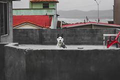 Mexico (zooksalmighty) Tags: mexico ensenada baja bajacalifornia vacation husky siberianhusky dog pet animal animals dogs wolf wink gadzooks zachmcminimy zackdeschain fort fortblog gadzooksphotography zooksalmighty