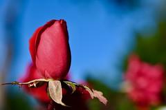 Autumn red Rose! (ineedathis,The older I get the more fun I have....) Tags: redrose bluesky rosebush flower petals calyx rosebud garden nature autumn nikond750 bokeh stem