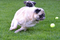 Pug Peek-A-Boo (DaPuglet) Tags: pug puppy dog ball fun funny cute animals pets pugs dogs playing action photobomb animal pet outdoor grass running run coth coth5