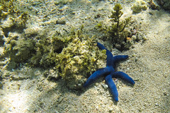 Snorkeling sight (TimoOK) Tags: fiji fidzi navitiresort meri sea starfish merithti sininen blue