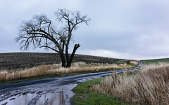 Another Feeling of Yesterday (John Westrock) Tags: garfield washington unitedstates us tree road landscape overcast morning rural farmfield canoneos5dmarkiii sigma35mmf14dghsmart pacificnorthwest