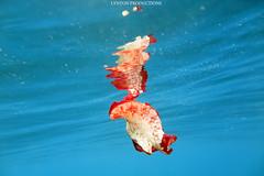 IMG_0189 copy (Aaron Lynton) Tags: spanish dancer snorkel scooter maui hawii hawaii canon g1x spanishdancer turtle honu tako octopus ocean animals papio yellowspotpapio starfish