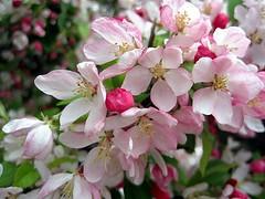 Easter blossom (Katie-Rose) Tags: uk pink station easter blossom malvern worcestershire greatmalvern happyeaster katierose canondigitalixus95is 112picturesin2012 30pinkgreen