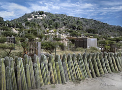 Cactus Fence (Ceresini Photography) Tags: cactus fence landscape farm aruba hillside cactusfarm nusery flickrchallengegroup