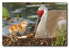Feed Me Series 1 of 4 (Nature Photos by Scott) Tags: new baby cute bird nature birds outdoors nest feeding florida crane wildlife birding newborn feed sandhillcranes nesting sandhillcrane beautfiul scotthelfrich scotthelfrichphotography
